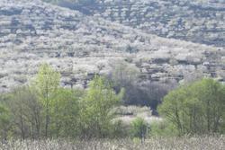 Cerezo en flor 2012 1732a 6210 dam preview