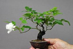 Los bonsais 2 7301 ebc4 dam preview